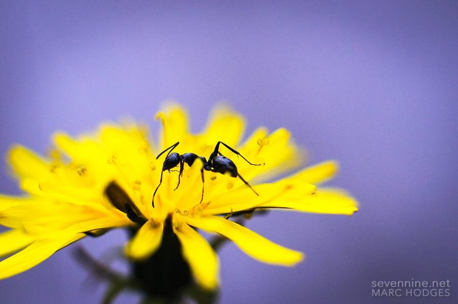 Ant in a Flower