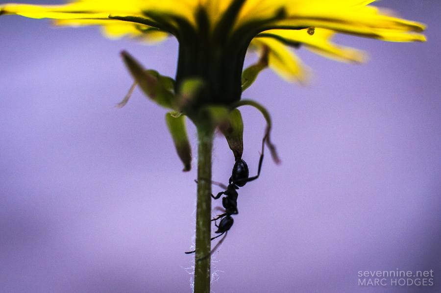 Ant Descending from a Flower